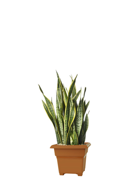 Sansevieria Species 'Mother In Laws Tongue'
